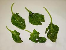 Leaves - Ethylene Gas