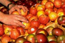 Apples - Ethylene Gas - The Silent Killer